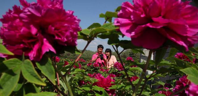 Peony flowers attract visitors in Beijing