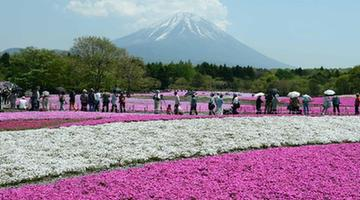 Photo taken on May 14, 2013 shows the Fuji Mountain seen behind blossoming Shiba Sakura in Japan's Yamanashi prefecture.