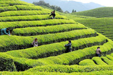 Tea garden in E China