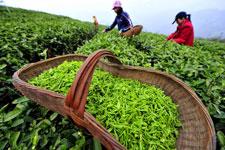 Spring tea season
