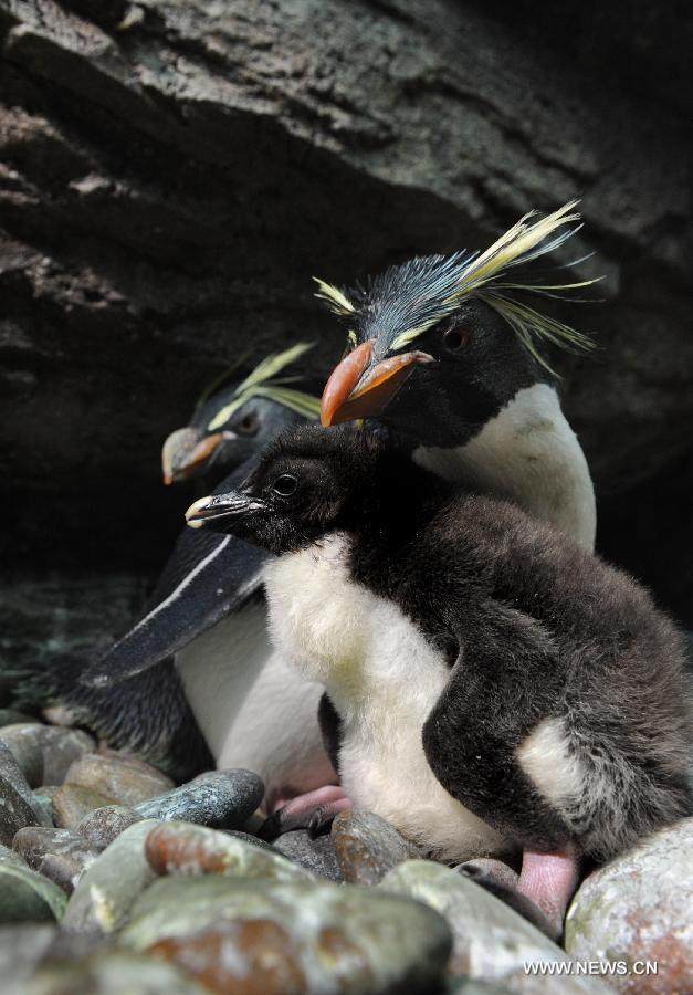 Baby rockhopper penguin in polar ocean world - China.org.cn