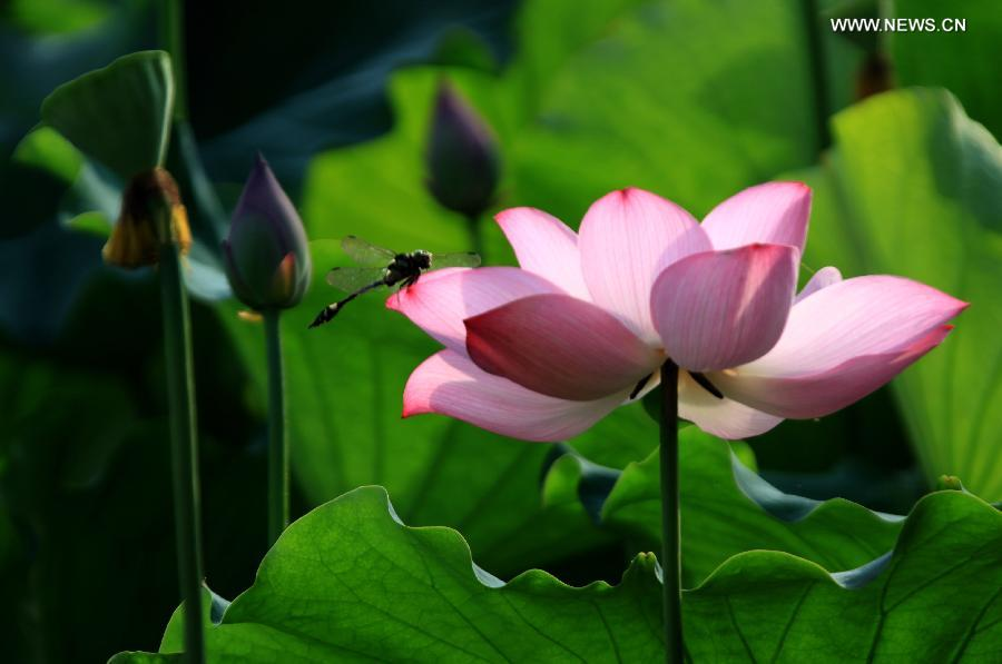 Charming Lotus Flowers Draw Dragonfly In Huangshan City Chinaorgcn