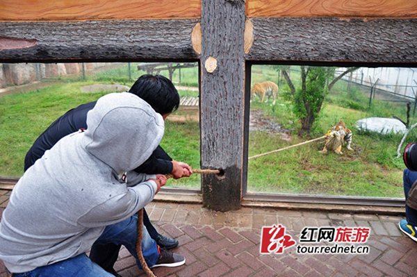 A tug-of-war game between tourists and an Amur tiger in the Changsha Ecological Zoo has caused controversy among netizens as to whether it breaches national regulations.