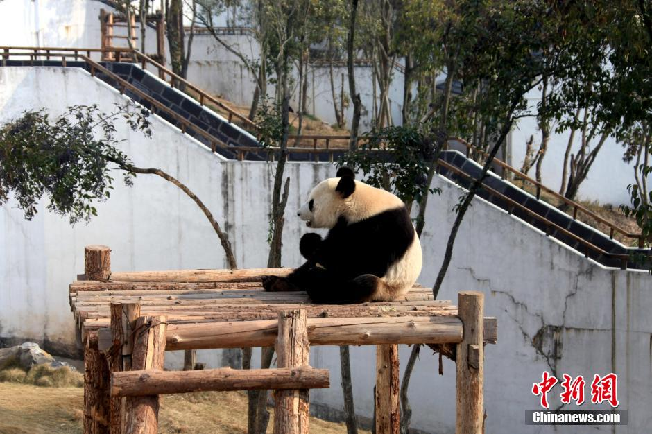 Pandas enjoy sunny winter time in Central China's Anhui Province. [photo / Chinanews.com]