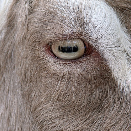 Goat, one of the 'top 10 animals with incredible vision' by China.org.cn.