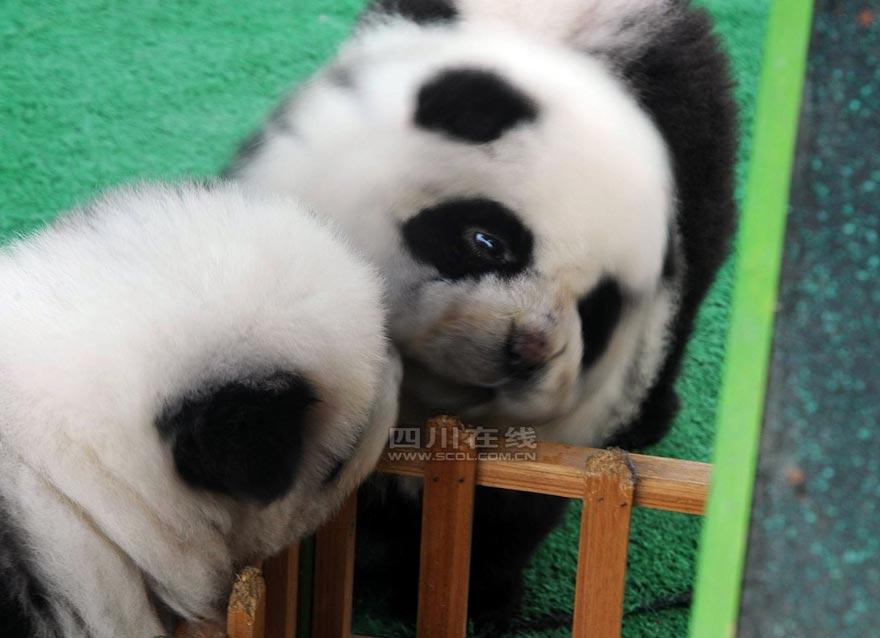 Adorable chow chow panda dogs - China.org.cn