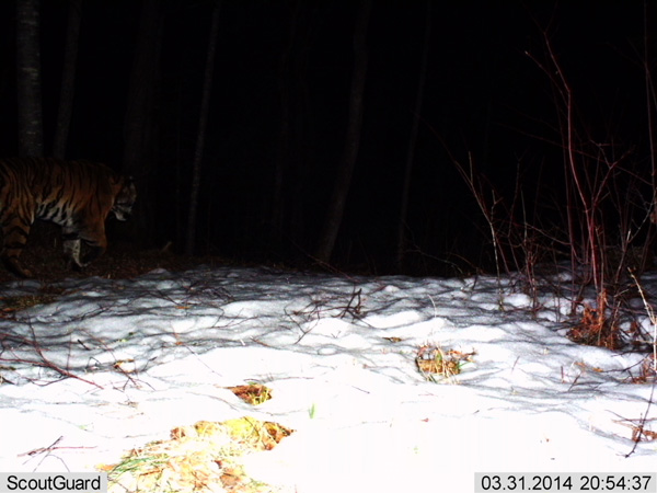 Camera trap photographs wild amur tiger - The worlds biggest rooftop farm nature reclaims its territory ...