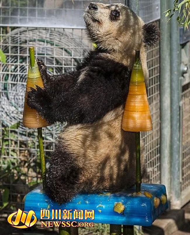 Xiao Liwu Means Little Gift A Male Giant Panda At The San Diego Zoo US Turned Two Years Old On Tuesday He Received Birthday Party Complete With