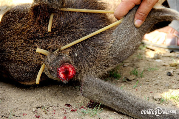 how to cut off deer antlers for mounting