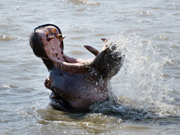 Tourists throng St Lucia estuary to see hippos
