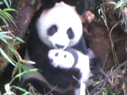 Wild panda cub filmed for the first time
