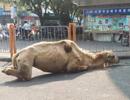 """辟谣""""乞讨骆驼被砍腿"""":卧姿小腿向内折易误会"""