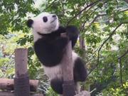 A panda's pole dancing