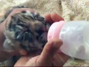 5 baby Manchurian tiger cubs born at China zoo