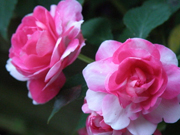 Camellia expo opens in Kunming