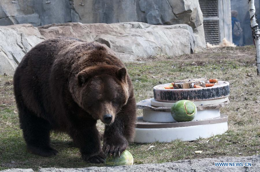 US Grizzly Bears 20th Birthdays Celebrated In Brookfield Zoo Chinaorgcn