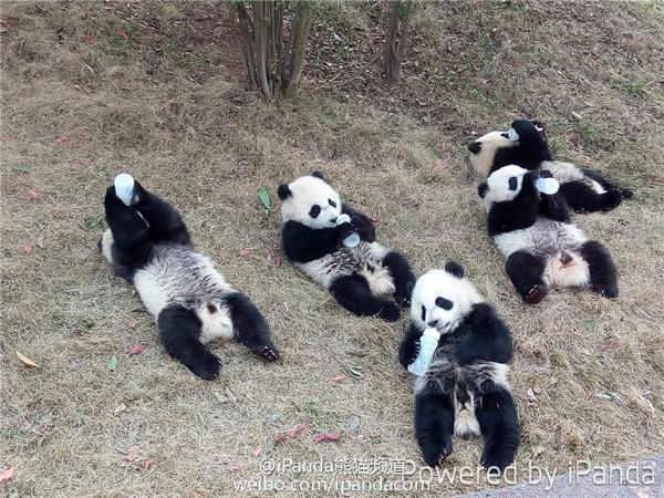 Panda Babies Drinking Bottles