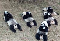Panda 'babies' enjoy milk from bottles