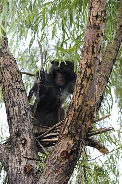 A macaque dismantles a bird nest in a tree. (Photo/Beijing News)