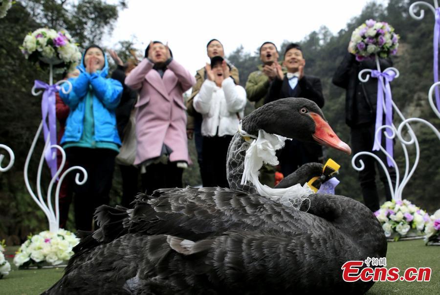 场特殊的婚礼,两只在宝峰湖生活了两年多的黑天鹅身着婚纱、礼图片