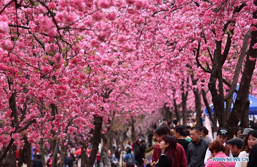cherry blossom seen at yuantongshan park in sw china china org cn