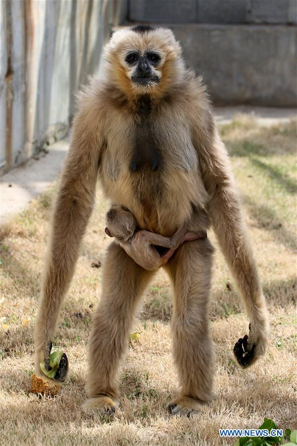 Baby white-cheeked gibbon stays with mother - China.org.cn
