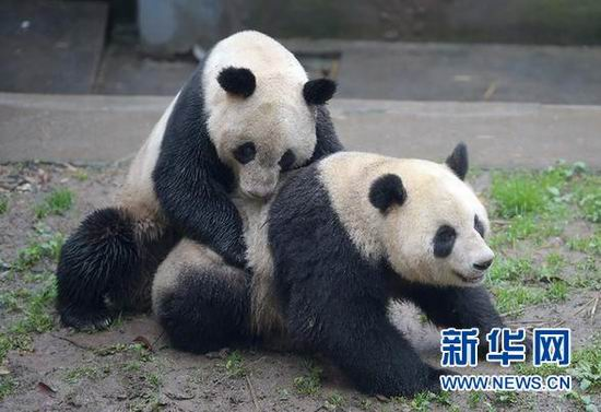 Male giant panda Yang Yang mates yesterday with Su Shan at the Bifengxia base of the China Conservation and Research Center for the Giant Pandas in Ya'an City in southwest China's Sichuan Province. [Xinhua]