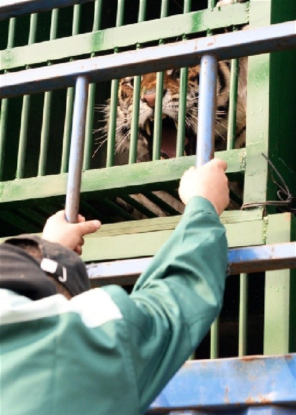 Twenty tigers in northeast China's Heilongjiang Province embarked on a journey Thursday morning to their new home more than 2,000 kilometers away. [Shanghai Daily]