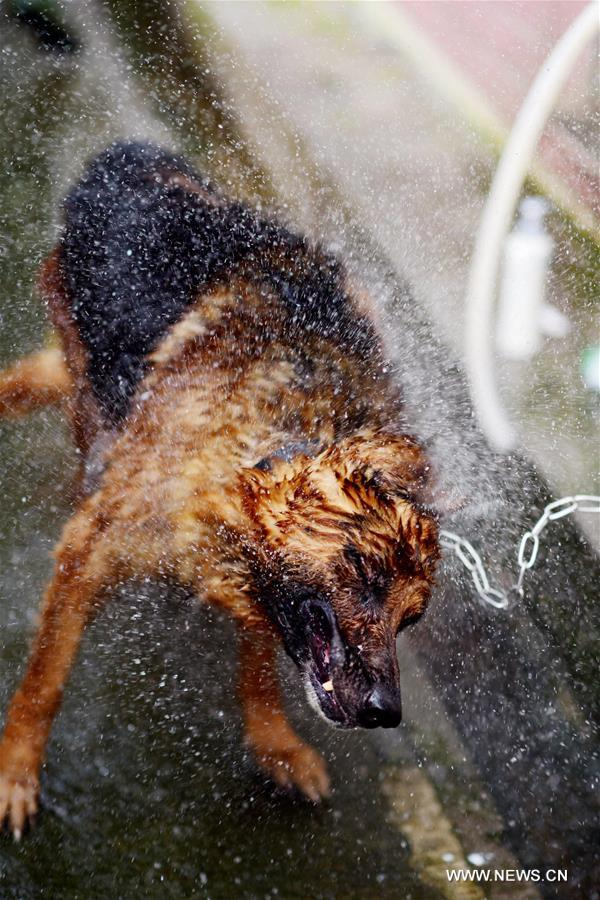 A police dog shakes off water droplets after taking a bath at a police dog base of frontier defense force in south China's Guangdong Province, April 18, 2016. [Xinhua]