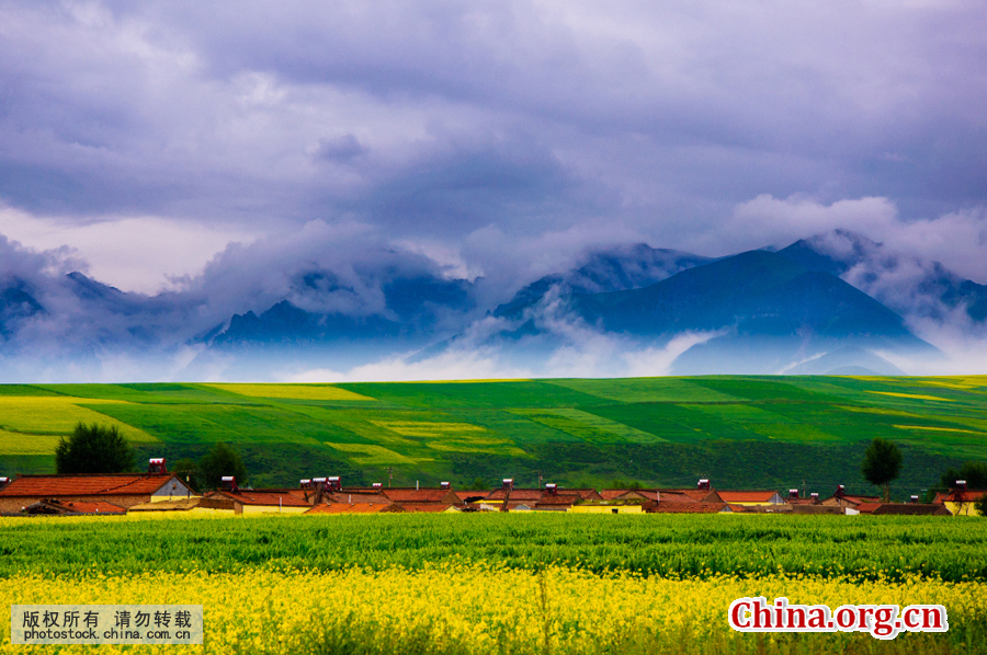 Picturesque Scenery Of Rape Flowers In Menyuan