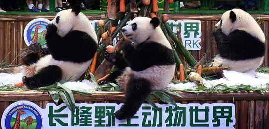 大熊猫三胞胎两周岁