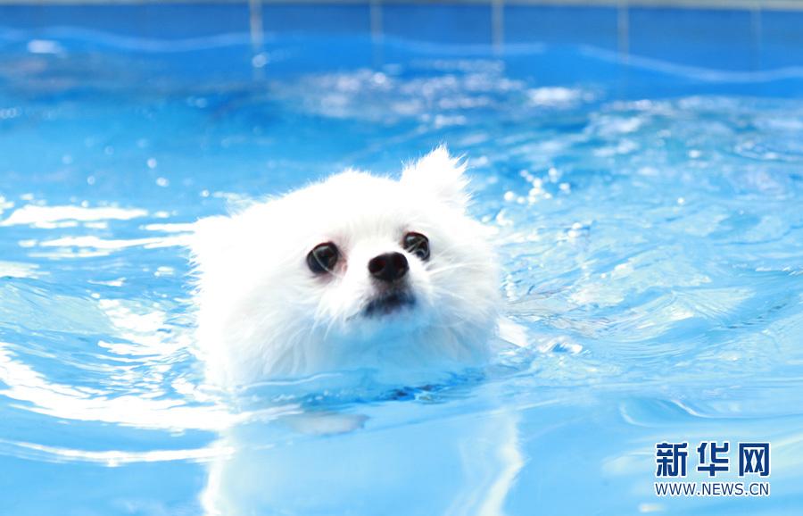8月14日,一只宠物狗在位于番禺的一家狗狗乐园游泳戏水,表情呆萌.