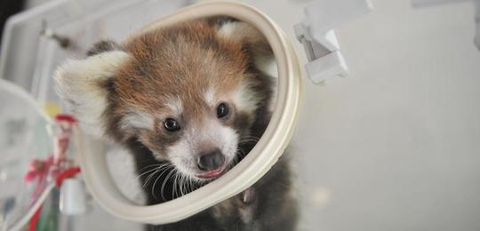 云南野生动物园首次成功人工繁育小熊猫