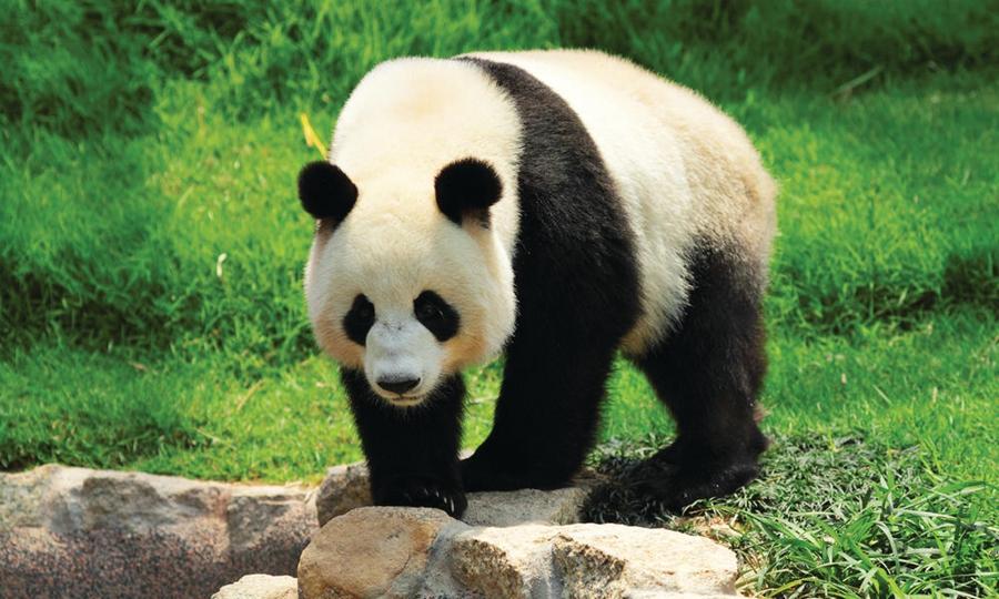 9月4日,世界自然保护联盟(iucn)发布最新濒危物种红色名录,将大熊猫的