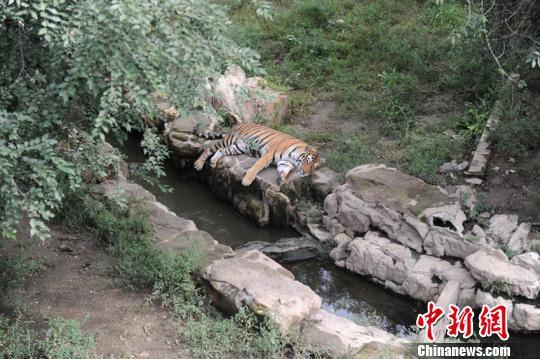 A tiger rests at Changchun Botanical and Zoological Garden in northeast China's Jilin Province. (Photo/China News Service)