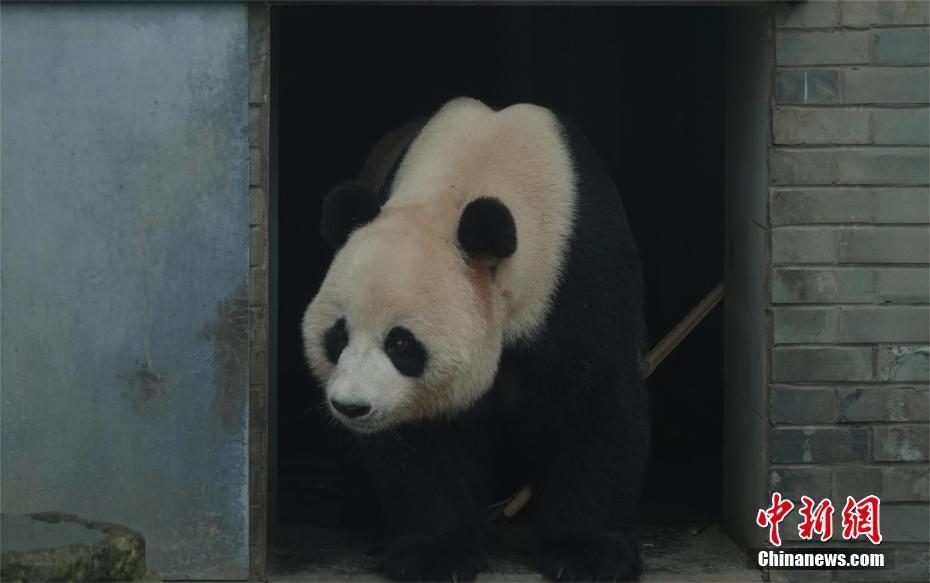 giant pandas arrive in shennongjia nature reserve  china