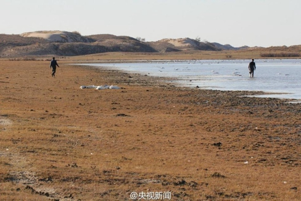 A total of 233 swans and 26 mallards were found dead in a lake in north China's Inner Mongolia autonomous region. [Photo from Sina Weibo account of CCTV]