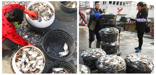 连云港抢运梭子蟹保障元旦春节市场供应