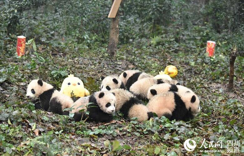 Eight giant panda cubs pose for Lunar New Year greetings at the Bifengxia breeding base of the China Giant Panda Protection and Research Center in southwest China's Sichuan Province on Wednesday, January 11, 2017. [Photo: people.cn]
