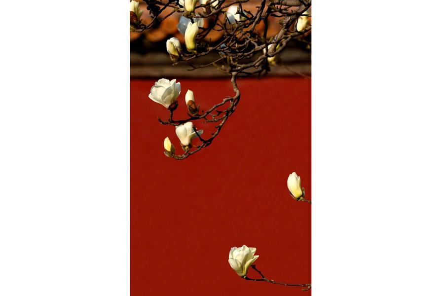 Magnolia Flowers Signal Spring At Forbidden City