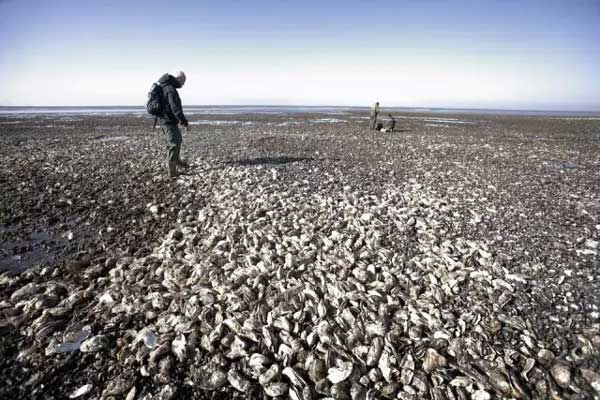 Chinese bombard Denmark with oyster crisis solutions