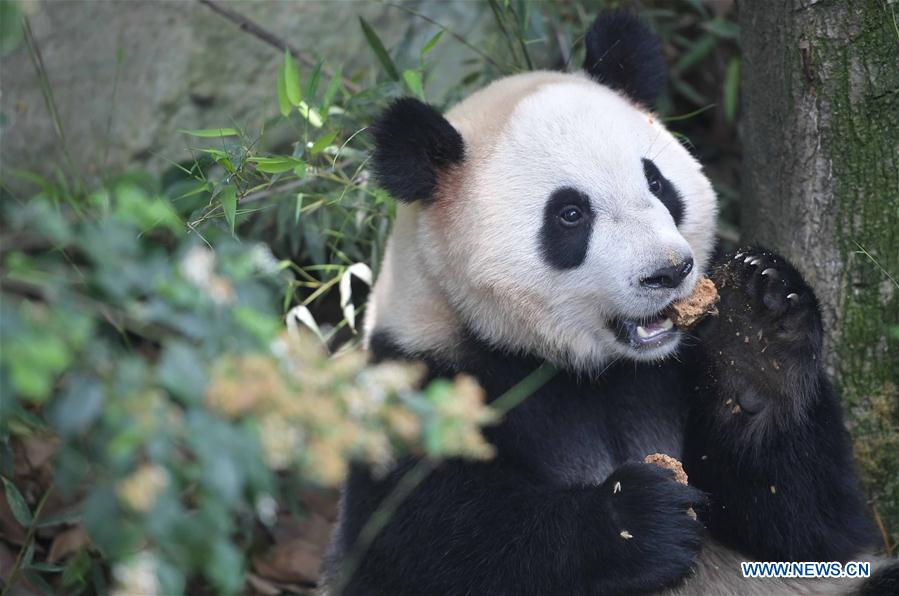 CHINA-SICHUAN-GIANT PANDA-DENMARK (CN)
