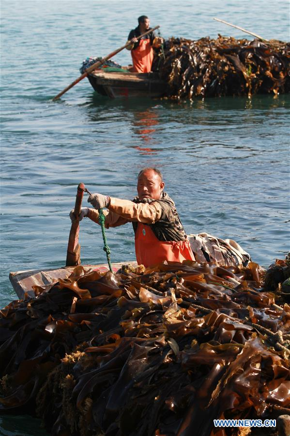 #CHINA-SHANDONG-KELP-HARVEST (CN)