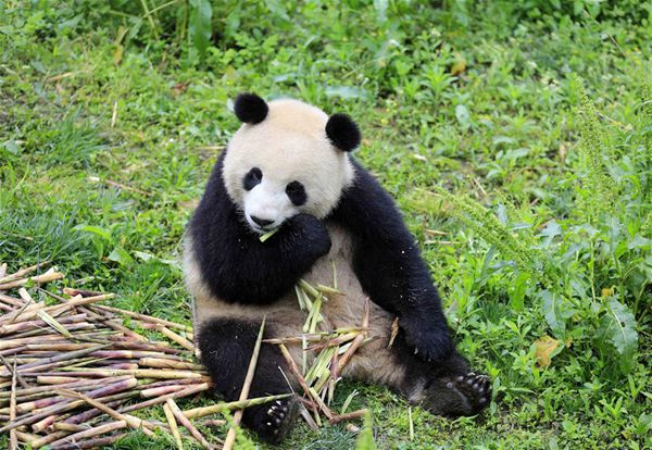 Berlin going nuts over arrival of 2 giant pandas from China