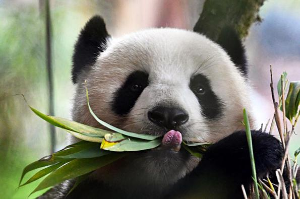 Many Giant Panda communities face extinction due to human activity, natural disasters and climate change. [File photo: thepaper.cn]