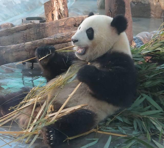 Giant panda in Chengdu Research Base of Giant Panda Breeding [Photo / China.org.cn]