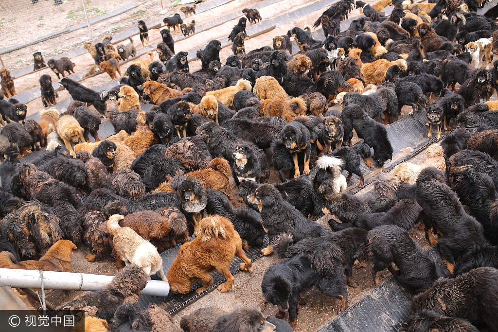 A photo shows stray Tibetan mastiffs waiting to be fed at a dog shelters at Maozhuang Township, Nangqen Couty, Qinghai Province, Aug. 20, 2017. [Photo/VCG]