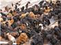 Tibetan mastiff economy collapses