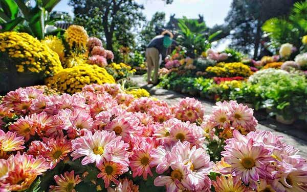 Chrysanthemum Symbol Of Vitality In Chinese Culture China
