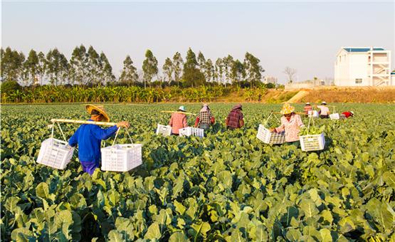 【镜头中的脱贫故事】福建南靖:产业脱贫在希望的田野上